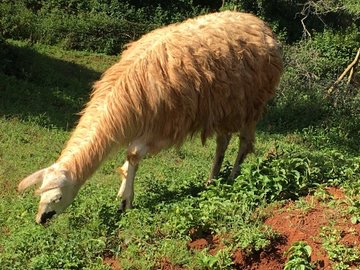 Llama living in the DKUT conservancy